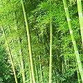 Yukio Samenhaus - China Exotic Samen Moso Bambus (Riesenbambus) Phyllostachys edulis winterhart von Yukio bei Du und dein Garten