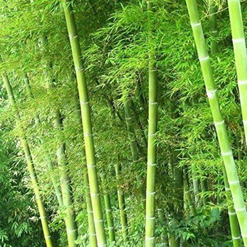 ina Exotic Samen Moso Bambus (Riesenbambus) Phyllostachys edulis winterhart ()