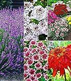 BALDUR-Garten Winterhartes Duft-Staudenbeet, 15 Pflanzen blauer Lavendel, Stauden-Malve Zebrina, weiße Iberis, Echinacea Hot Papaya und Gartennelken in bunter Farbmischung