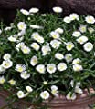 """BALDUR-Garten Winterharte Eisblume """"White Wonder"""";3 Pflanzen, Delosperma congesta Album von Baldur-Garten - Du und dein Garten"""