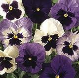 Amazon - Fiore - Viola del Pensiero - Matrice Ocean Breeze Mix F1 - 75 Semi - Confezione Grande