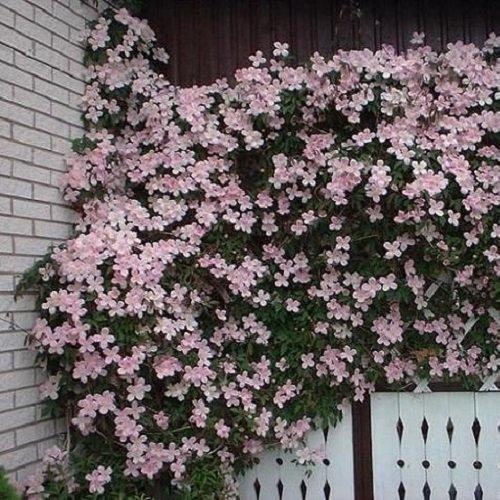 Clematide montana rubens - vaso 1,5 litro (pianta rampicante - clematis rosa - pianta adulta - resistenza al freddo: ottima) - muri e recinzioni, pergola, balconi e terrazze | clematisonline