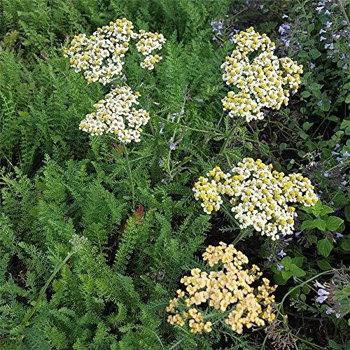 Hohe Garten-Gold-Garbe 'Hannelore Pahl', Achillea filipendulina 'Hannelore Pahl', P 0,5