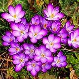 Shopmeeko 100 teile/beutel Safran pflanzen (nicht Crocus Safran Zwiebeln), Bonsai Blume pflanzen Iran Krokus Topfpflanzen Für Hausgarten Herb Semill: Weiß