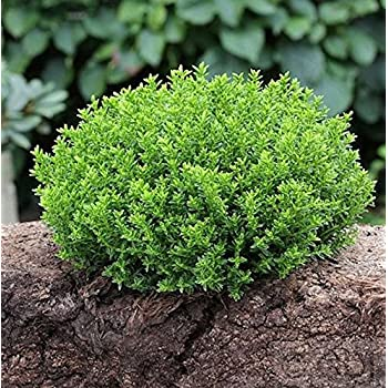 hebe 39 green globe 39 strauchveronika 12 cm topf immergr n winterhart garten. Black Bedroom Furniture Sets. Home Design Ideas