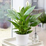 Spathiphyllum 'Peace Lily' Indoor Plants - 1 x Potted Lily House Plant 9cm Pot