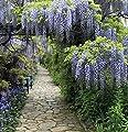 Blauregen Domino 60-80cm - Wisteria floribunda von Baumschulen bei Du und dein Garten