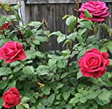 Best Climbing Roses - Nelesa Gardening Live Red Rose Grafted Plant Review