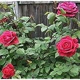 Nelesa Gardening Live Red Rose Grafted Plant