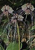 Tropica - Fiore pipistrello (Tacca chanterii ) - 15 Semi