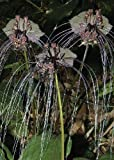 TROPICA - Flor murciélago (Tacca chantrieri) - 10 semillas- Magia tropical