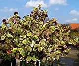 Weißbunte Kriechspindel Emerald Gaiety Topfware 15-20cm - Euonymus fortunei Emeralds Gaiety floranza® 20