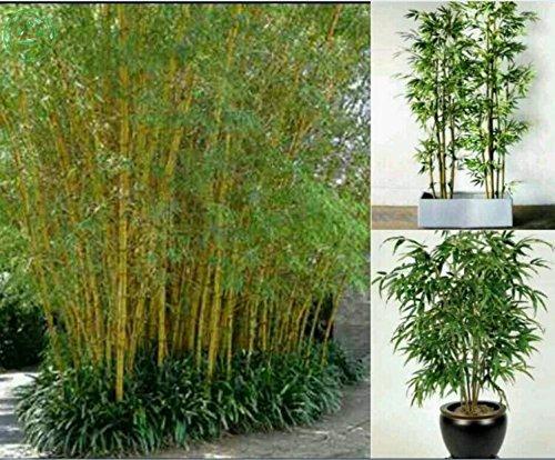 graines de plantes en pot Bonsai 100 graines de plantes Maison bambou frais jardin bambou vert graines de bambou Phyllostachys D25