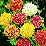 #4: Gaillardia Double Mixed Flower Desi Seeds Summer Variety Special for Home and Balcony Gardening ( Free) By Gate Garden