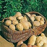 Pflanzkartoffeln, verpackt im Raschelsack, Typ: Linda, Inhalt: 5,0kg