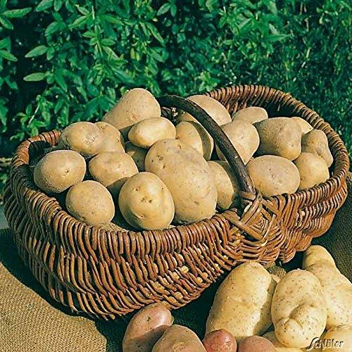 Pflanzkartoffeln, verpackt im Raschelsack, Typ: Annabelle, Inhalt: 5,0kg