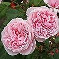 Parfuma Kletterrose, Kiss me Kate, rosa, 12 x 12 x 40 cm, 3-31 von W. Kordes' Söhne - Du und dein Garten