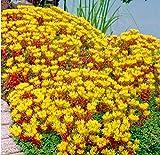 TOMASA Seedhouse- Rare Stonecrop Seme di fiori di copertura del suolo Piacere Perenne Inverno resistente Erbe Piante Bee-Friendly Semi di fiori Giardino