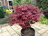 Japanese Purple Maple Tree, Acer Palmatum Atropurpureum Plant, 15-20cm Tall In a 9cm Pot 3fatpigs®