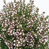 Bio Kugelthymian Kräuterpflanze
