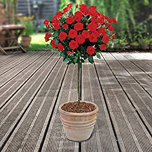 YouGarden Patio Standard Roses Bare Root, Red (Pair)