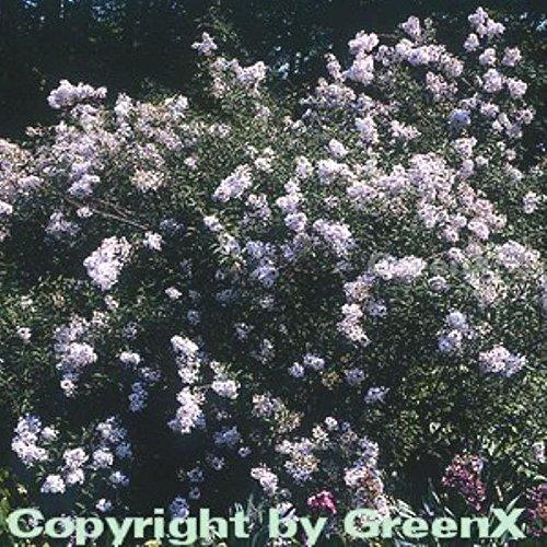 Persische Flieder 60-80cm – Syringa persica