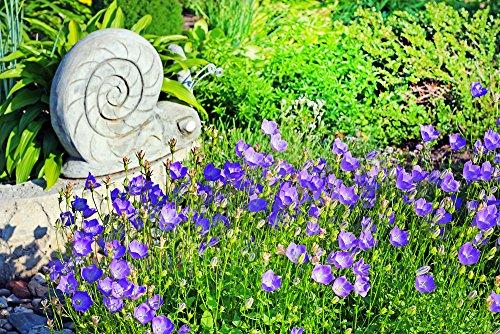 Polsterglockenblume Ideal als Kübelpflanze