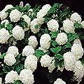Gemeiner Schneeball von Meingartenshop - Du und dein Garten
