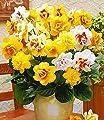 BALDUR-Garten Gefüllte Narzissen, Osterglocken Prachtmix, 50 Zwiebeln Narcissus von Baldur-Garten - Du und dein Garten