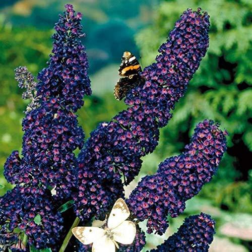 Qulista Samenhaus – Selten Bienenweide Blau Schmetterlingsstrauch Summer Bird® 'Blue' duftend für Bienen und Schmetterlinge Zwerg-Sommerflieder Blumensamen winterhart mehrjährig für Balkon