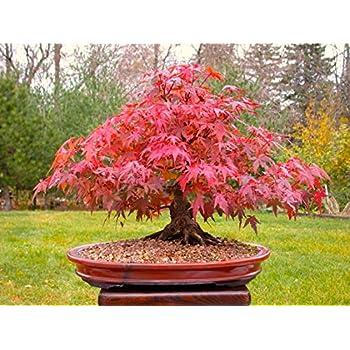 japanische rote ahorn bonsai baum wachsen sie ihr eigenes baum b ro dekor 20pcs bag samen. Black Bedroom Furniture Sets. Home Design Ideas
