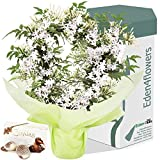 SWEET SCENTED JASMIN PLANT GIFT & CHOCOLATES - Our Living Flowering plants are Perfect for Mothers Day, Fathers Day, Birthdays, Easter & Christmas by Eden4flowers