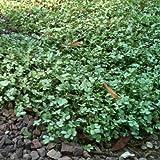 lichtnelke - Blaugrünes Stachelnüsschen (Acaena buchananii)