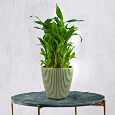 Exotic Green Feng Shui Bamboo 3 Layer Indoor Plant