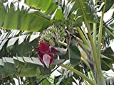 Musa acuminata echte Banane Bananenstaude Pflanze 20cm essbare Früchte