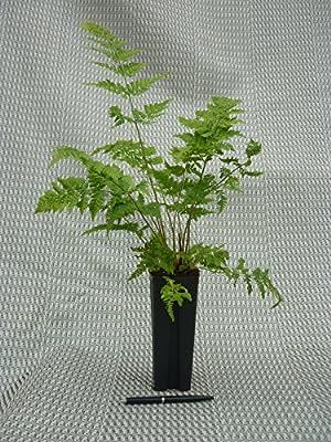 Breitblättriger Dornfarn- Dryopteris dilatata- 10 Stück- Gesamthöhe: 55+cm, topf: 0,7 ltr.