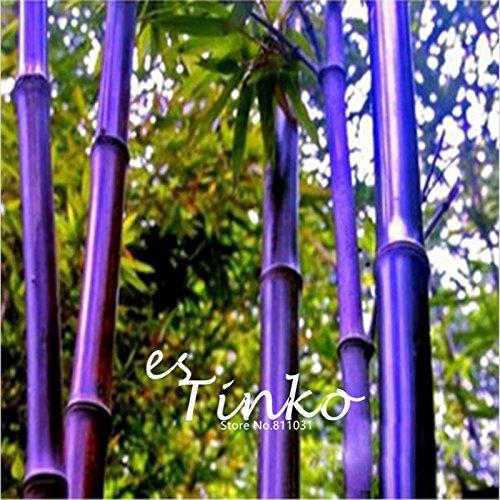 50pcs Rare Lila Bambus Samen Phyllostachys Nigra Zier Bonsai Samen Topfpflanze DIY Hausgarten geben Verschiffen frei Lila Bambus