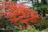 Fächerahorn 'Aconitifolium' Acer japonicum 'Aconitifolium' Zier Ahorn Baum im Topf gewachsen