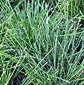 Zwerg - Schachtelhalm ( Equisetum scirpoides ) von Lichtnelke Pflanzenversand bei Du und dein Garten