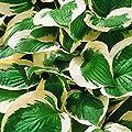 Kölle Funkie 'Patriot' - Hosta Hybride 'Patriot' - ovale dunkelgrüne Blätter mit weißem Rand, lila Blüten - im 11 cm Topf - frisch aus der Gärtnerei - Pflanzen Gartenstaude von Kölle - Du und dein Garten