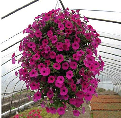 100 pièces / noir Petunia Graines rares Noir Pétunia Graines de fleurs dans les semences de fleurs à l'intérieur Bonsai pour jardin plantes Bonsai blanc