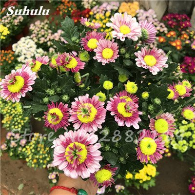 120 pcs graines graines de fleurs Daisy strawberry marguerite, fleurs de saison graines chrysanthème, Bonasi beau balcon fleuri coloré 10