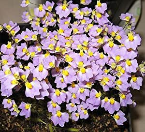 Utricularia bisquamata - Utricularia - 10 graines