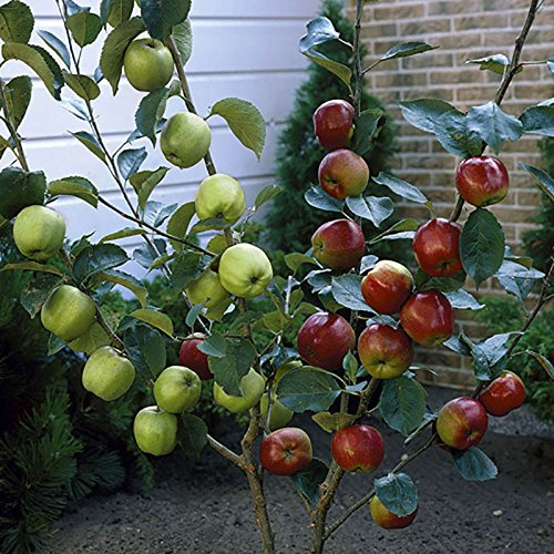 duo-fruit-apple-tree-2-varieties-on-one-tree-14m