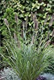 Garten-Federborstengras / Lampenputzergras (Pennisetum alopecuro Größe 6-L Topf