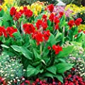 Gärtner Pötschke Canna Flamenco (Indisches Blumenrohr) von Gärtner Pötschke bei Du und dein Garten