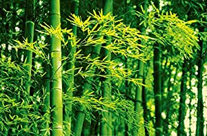 Poster XXL Giant Art® Bamboo in Spring photo, photo murale, poster, grand format, 175x115 cm, nature, bambou, plante, buissons, forêt, vert, printemps,