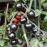10 Samen Indigo Rose Tomate – schwarz-lilafarben, mild und saftig
