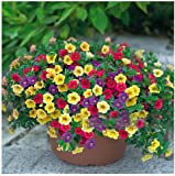Blumensamen Pflanze hängen Petunie Samen Balkon -100 Samen