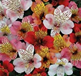 Plant World Seeds - Alstroemeria Mixed Species Seeds